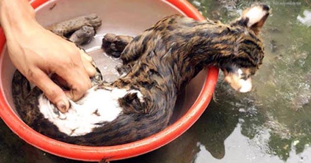 Nhổ lông mèo bằng tay, cách vặt lông mèo